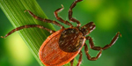 Photo: dorsal view of a blacklegged tick, Ixodes pacificus.