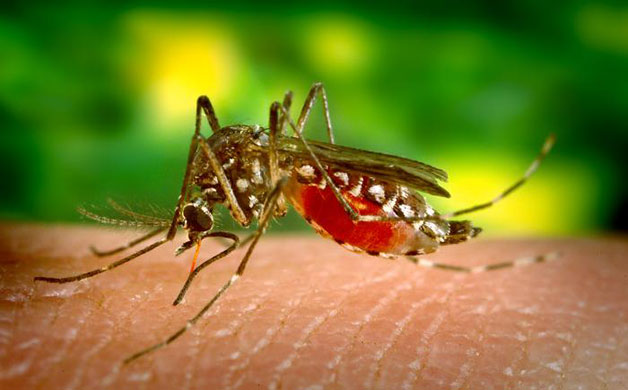 Photograph depicting a female Aedes aegypti mosquito, which is the primary vector for the spread of Dengue fever.