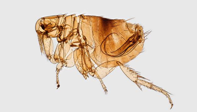 A magnified left lateral view of a female Oriental rat flea, Xenopsylla cheopis, a well-known bubonic plague vector.
