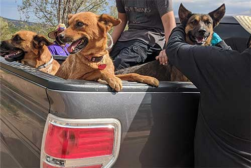 Dogs in the back of a pickup truck waiting for collars.