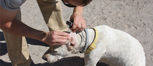 Thumbnail image of man checking a white dog's ear for ticks