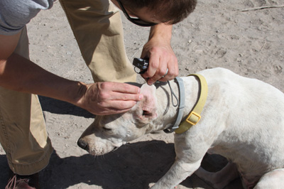 Image of man checking a white dog's ear for ticks
