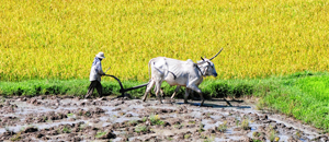 Thumbnail image of farmer with cows plowing on rice field in Vietnam