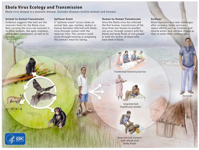 Image of an infographic for Ebolavirus virus ecology and transmission. HTML page: https://www.cdc.gov/vhf/ebola/resources/virus-ecology.html