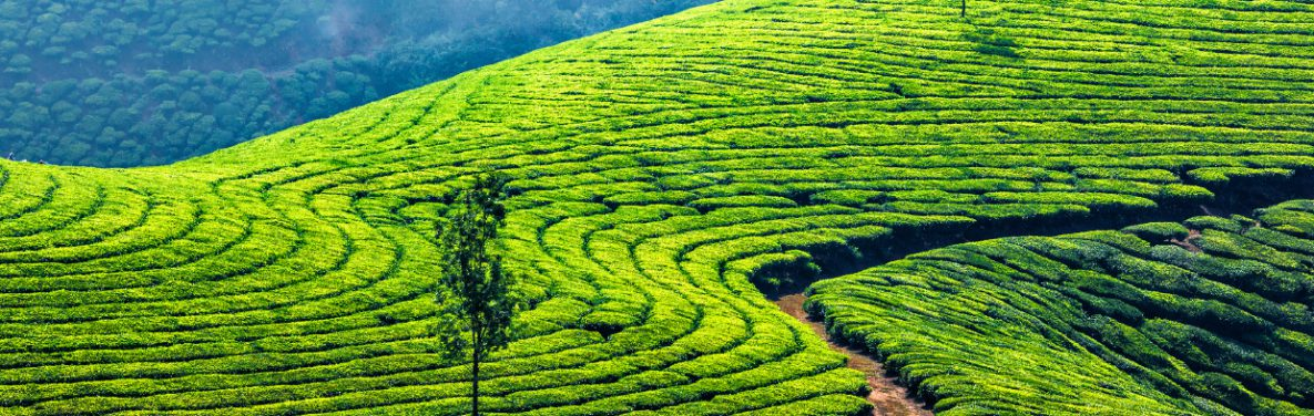 beautiful fields of green tea