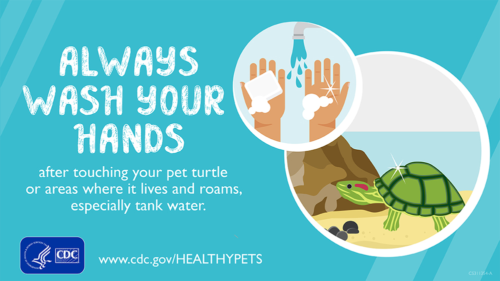Always Wash Your Hands after touching your pet turtle or areas where it lives and roams, especially tank water.