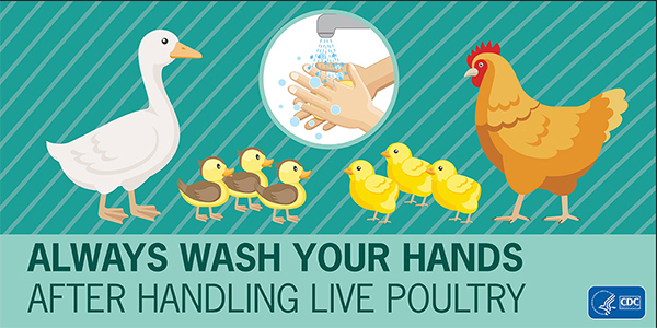 Infographic showing Always Wash Your Hands After Handling Live Poultry
