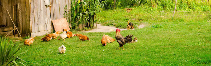 Image showing a few chickens in a grassy backyard near a small hen house
