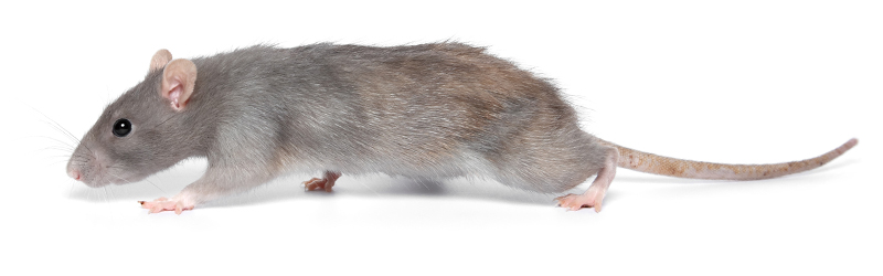Slider image - gray and light brown rat on white background