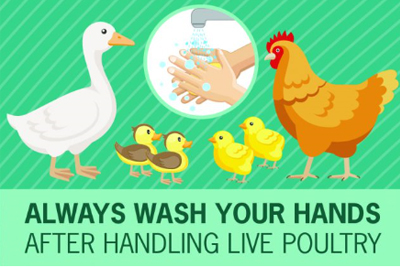 illustration of assorted poultry and hands washing under water with text-always wash your hands after handling live poultry