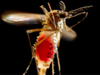 A mosquito flying full of blood against a black background.