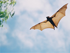 A bat flying in the sky