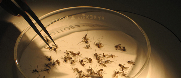 A shot of mosquitoes in a scientist dish
