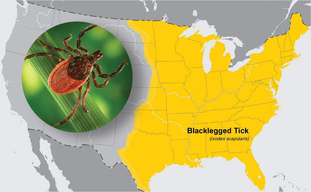 The area in yellow shows the estimated distribution of blacklegged or deer ticks, the tick that transmits Lyme disease