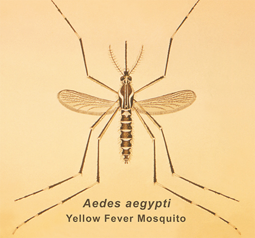 Aedes aegypti Yellow Fever Mosquito