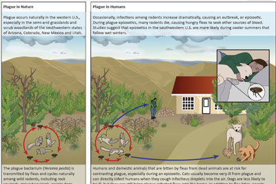 infographic plague ecology in the us