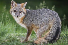 image of a silver fox standing in grass