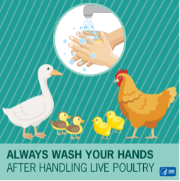 An illustration showing Always wash your hands after handling live poultry