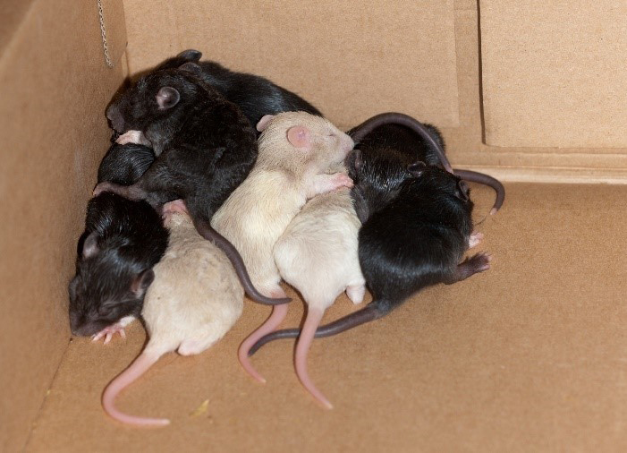 A mother rats surrounded by her children rats.