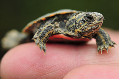 Closeup picture of baby turtle on a finger