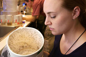 scientist looks into a white container with dozens of mosquitoes inside