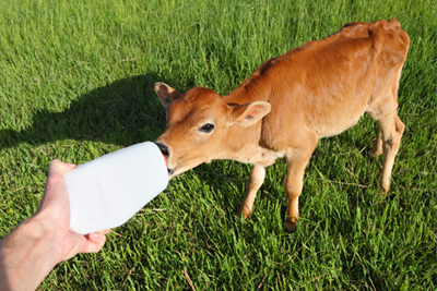 calf drinking from a bottle