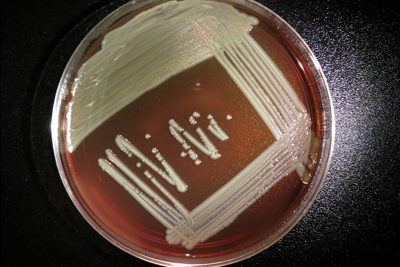 The bacteria Elizabethkingia anophelis is shown as white streaks growing on top of a reddish-brown growth medium in petri dish.