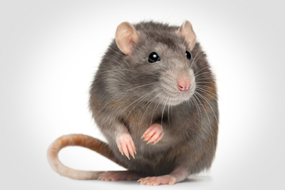 image of rat sitting with a white background