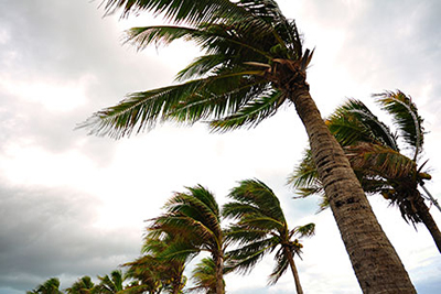 Palm trees swaying in heavy winds