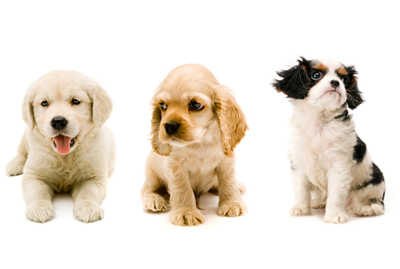 Image of 3 adorable puppies on a white background