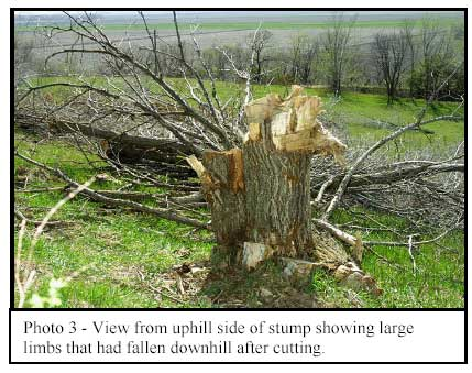 Photo 3 - View from uphill side of stump showing large limbs that had fallen downhill after cutting.