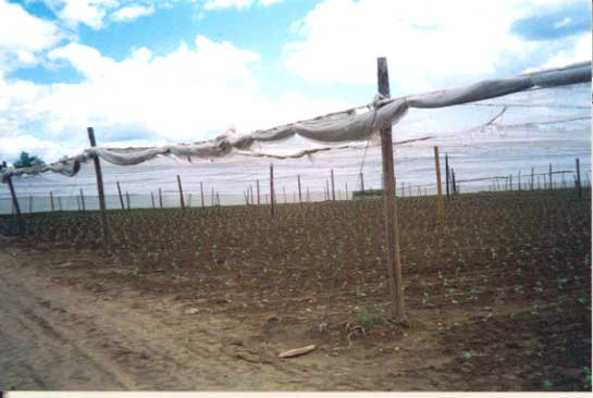 Figure 1 - The outer edge of a shade tobacco field and shade tobacco tent.