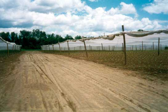 Figure 5 - The pathway between two shade tobacco fields.