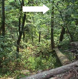 Figure 2. The  photo shows the obstructed fall path and landing zone.  The arrow points to the walnut whose top was obstructing the fell.