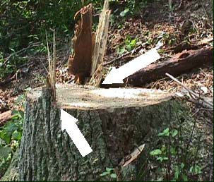 Figure 3. This photo shows the two small dog-eared hinges that remained after the victim=s final cuts. Leaving the proper amount of hinge wood not only controls the direction of the fell but anchors the butt to the stump when the tree makes contact with other during the fell.