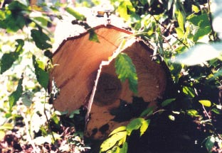 Figure l. The photo shows the butt of the felled tree.