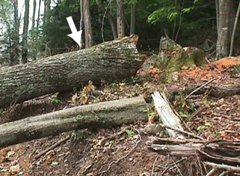 Figure l. The photo shows the butt and stump of both trees. The white arrow depicts the large red oak. The maple, which set-back and later became the fatal energy source is in the foreground.