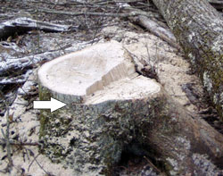 Figure 2. The photo shows the tree's stump.