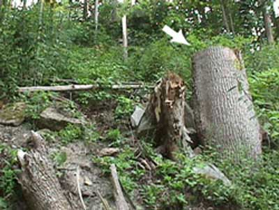Arrow points to the poplar stump that was felled
