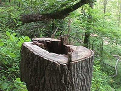 photo of felled tree stump showing mating section indicating that a  directional felling notch was not executed