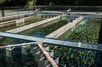 Fish swim in man-made ponds at a trout farm.