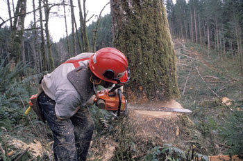 A lumberjack using a chainsaw crouches to saw down a tree