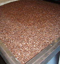 Freshly roasted coffee beans in a large storage container.