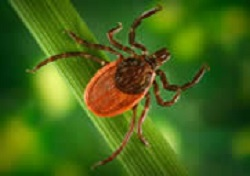 Black-legged tick