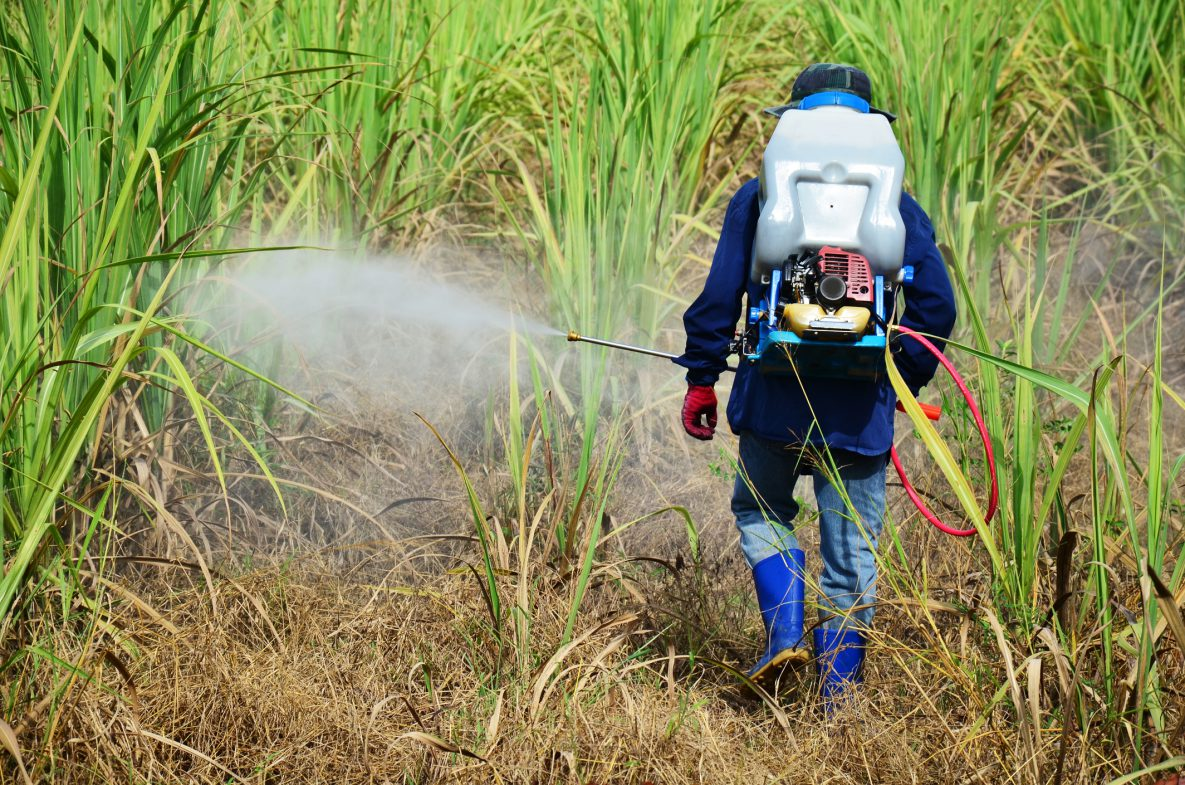 Farmer walks and sprays crops with herbicide.