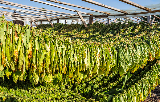 Tobacco leaves drying in the sun.