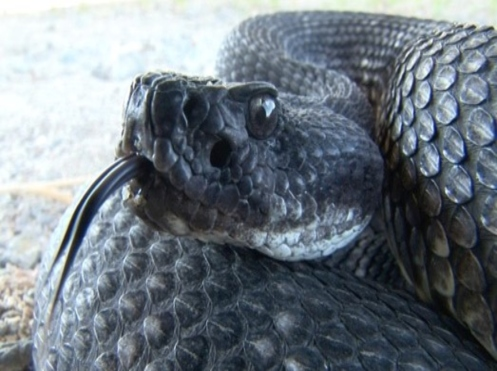 Upclose photo of black rattlesnake