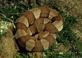 cooperhead snake
