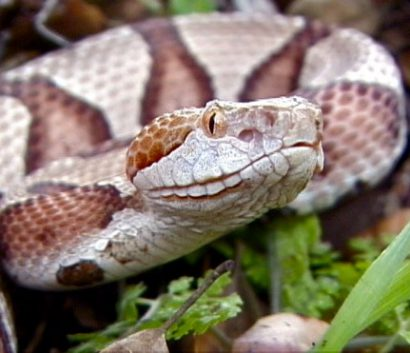Upclose picture of copperhead