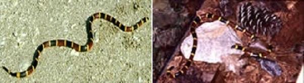 Coral snake banner